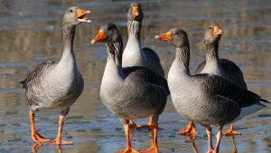 WHAT DO GEESE EAT